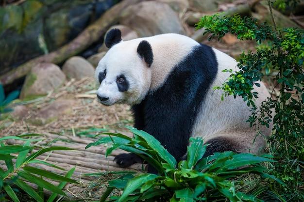 Giant panda sitting among green plants