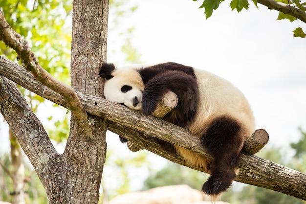 Гигантская панда спит в ветвях дерева в зоопарке.