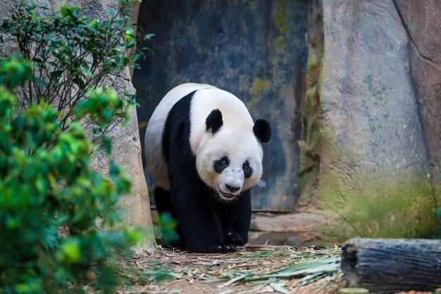 Giant panda walking among green plants