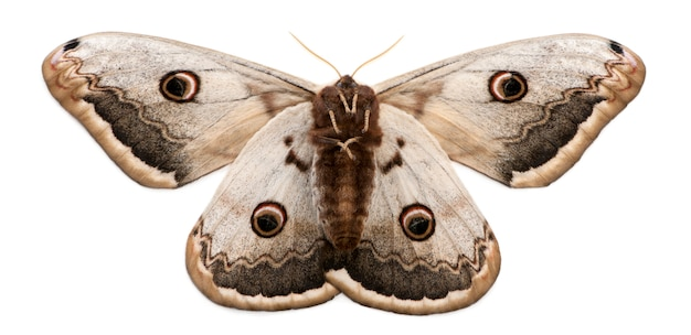 Giant peacock moth isolated on white Premium Photo