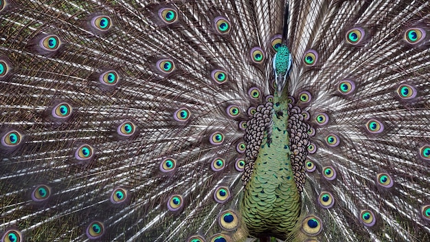 The giant peacock in the zoo