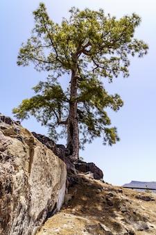 푸른 하늘 배경에 그란 카나리아 섬에서 거 대 한 소나무. 카나리아 섬, 유럽,