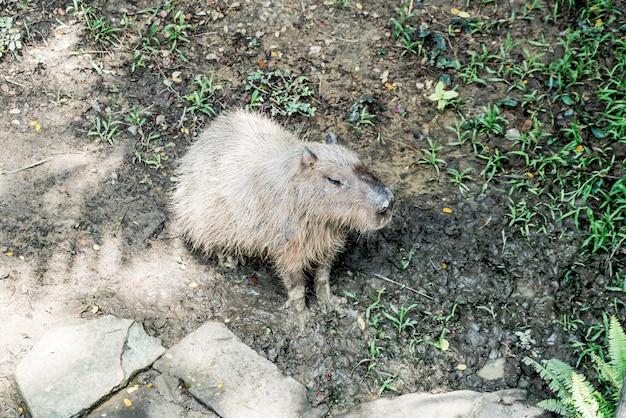 Гигантская крыса - капибара