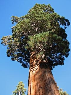 Giant redwood in sequoia national park