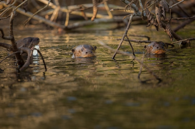 自然生息地のオオカワウソ野生のブラジルブラジルの野生生物