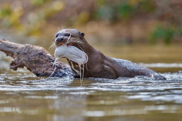 自然生息地のオオカワウソ