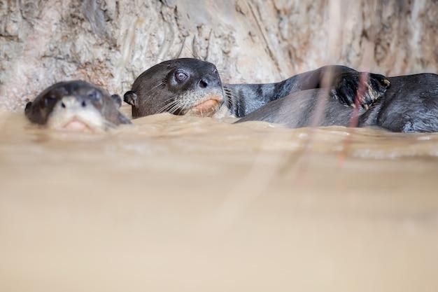 Giant river otter in the nature habitat