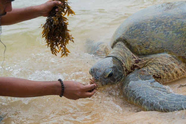 The giant sea turtle surfaced in shallow water and a man feeds her with algae.
