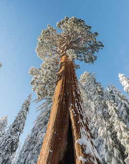 Giant sequoia trees in the forest dunring winter