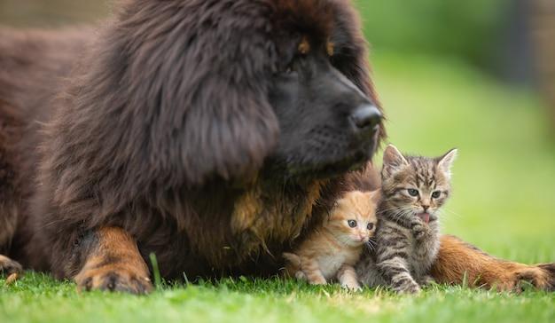 草の上の庭で小さなぶち子猫と友好的に遊んでいる巨大なチベタンマスティフの子犬。