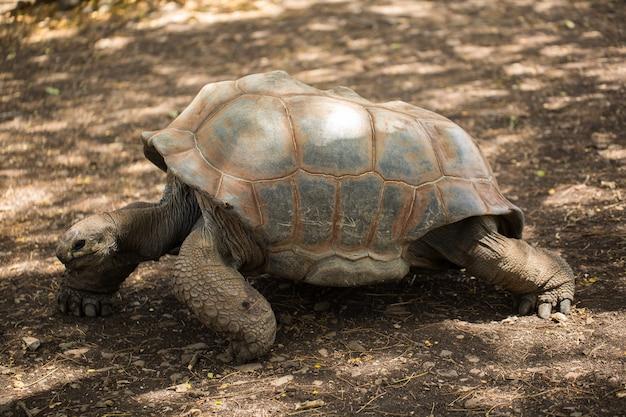 모리셔스의 거대한 거북이.