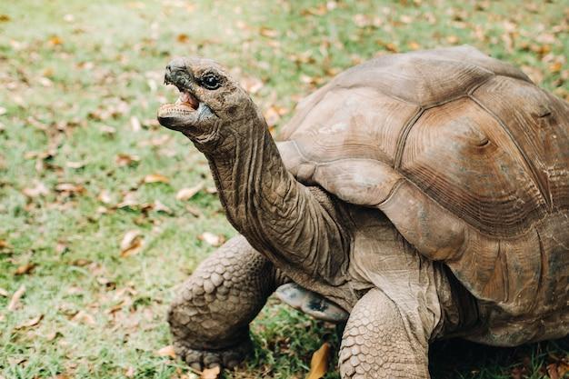 인도양의 모리셔스 섬에있는 열대 공원에있는 거대한 거북이 dipsochelys gigantea.