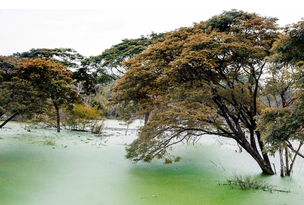 Giant tree in green water swamp