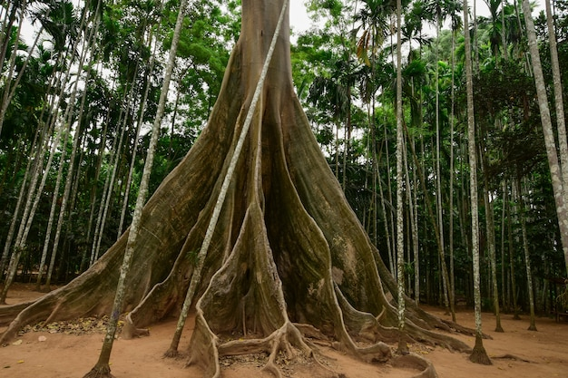 Giant tree roots.