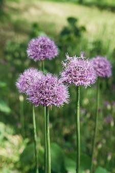 明るい日光の下で巨大な紫のネギの花