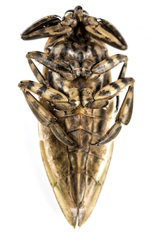 Giant water bug isolated on white background.