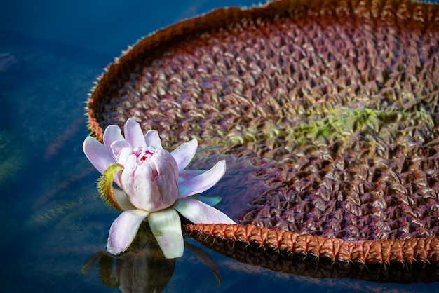 Giant water lily with white flower floating in pond