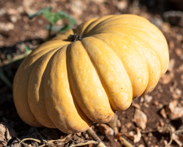 Giant yellow pumpkin in garden soil