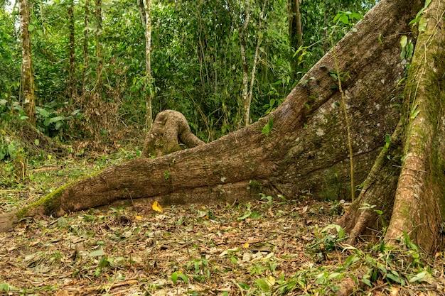 ジャンテセイバツリー、ミサウアリ、アマゾン、エクアドル、