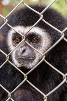 Gibbon behind the cage in the park