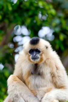 Gibbon of golden cheeks, nomascus gabriellae