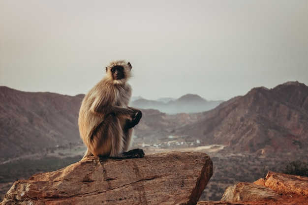 Gibbon monkey sitting on the rock and gazing with mountains in pushkar, india