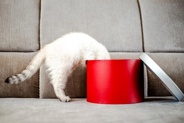 ギフトボックスのコピースペースから覗くギフト子猫の若い猫ブリティッシュ猫