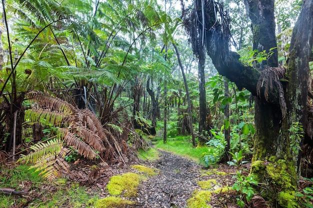 ハワイ島の熱帯雨林の巨大なシダの木