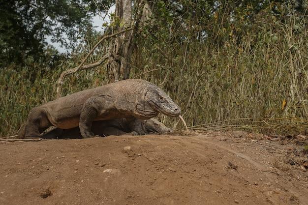 코모도 섬에 거대한 도마뱀 코모도 드래곤