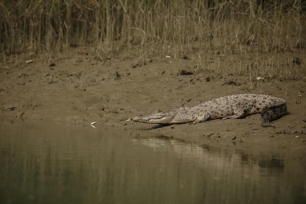 Гигантский соленый водяной крокодил пойман в мангровых зарослях сундарбана в индии