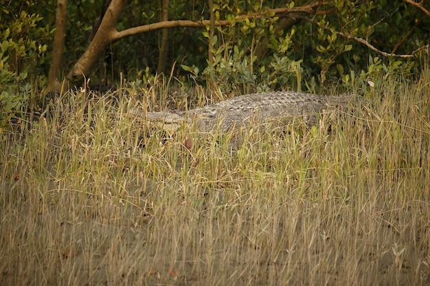 Gigantesco coccodrillo d'acqua salata catturato nelle mangrovie di sundarbans in india