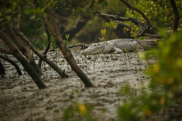 Gigantic salted water crocodile caught in mangroves of sundarbans in india