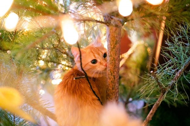 Ginger can on the christmas tree