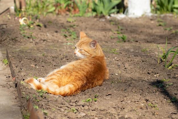 花壇で地面に春の太陽を浴びて生姜猫