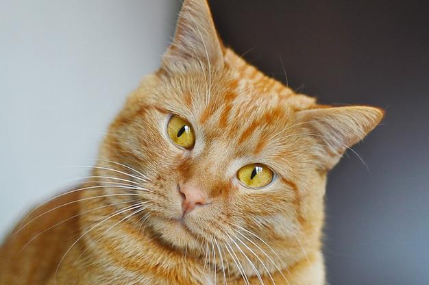 생강 고양이 닫습니다. 포스터 애완 동물의 개념.