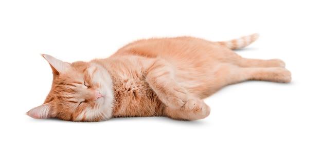 孤立した白い背景で眠っている生姜猫かわいい