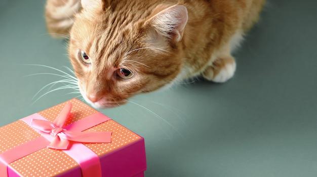 Рыжий кот осматривает красную подарочную коробку