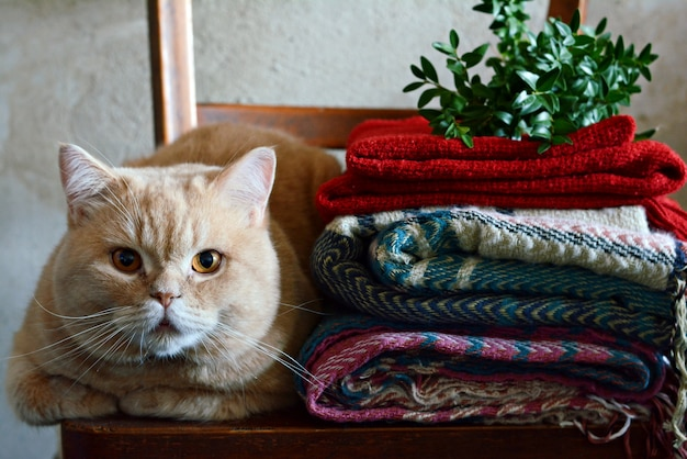 居心地の良い暖かいインテリアの生姜猫。秋冬。秋の居心地の良い気分コンセプト。家、暖かさと快適さ、秋の寒さ。ホームインテリア、暖かい服、セーター、チェック柄。