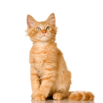Рыжий котенок. портрет кота изолированный