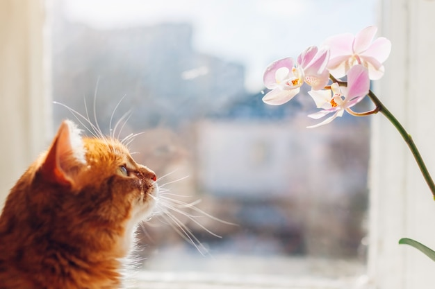 Ginger cat looking at orchid walking on window sill at home in the morning