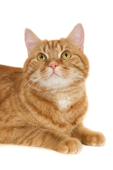 Ginger cat looking up. against a white background.