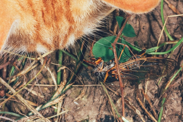 Ginger cat looks at the cicada