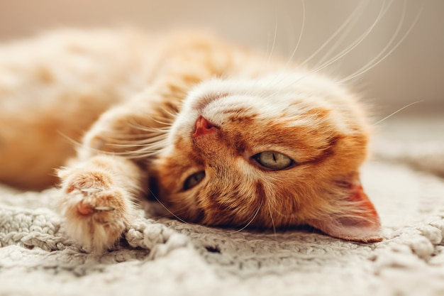 Ginger cat lying on floor rug upside down. pet relaxing and feeling comfortable at home