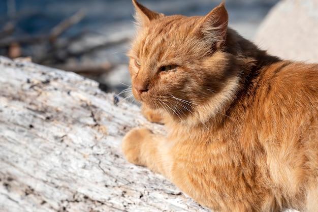 Lo zenzero gatto sdraiato sulle rocce vicino alla costa del mar egeo in grecia