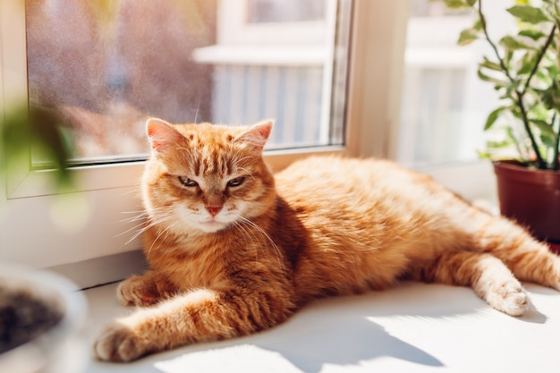 Ginger cat lying on window sill at home