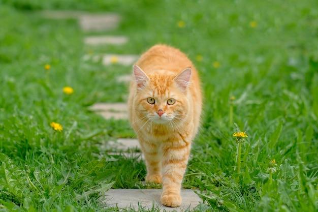 Рыжий кот на фоне зеленой травы летом в солнечный день