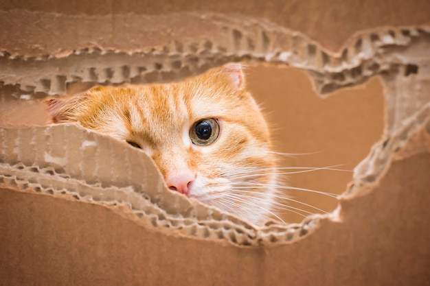 Ginger cat peeps through a torn hole in a box