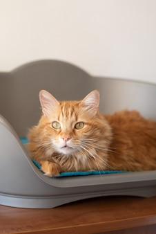 Ginger cat in pet bed with nice whiskers hairs, powerful glance of eyes