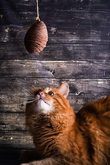 Ginger cat plays with a cedar cone