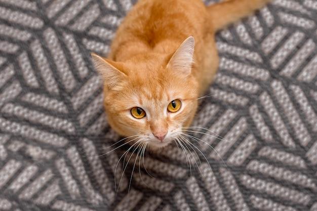 生姜猫は灰色のカーペットの上に座って、上面図